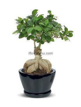 Ginseng Ficus Bonsai Small
