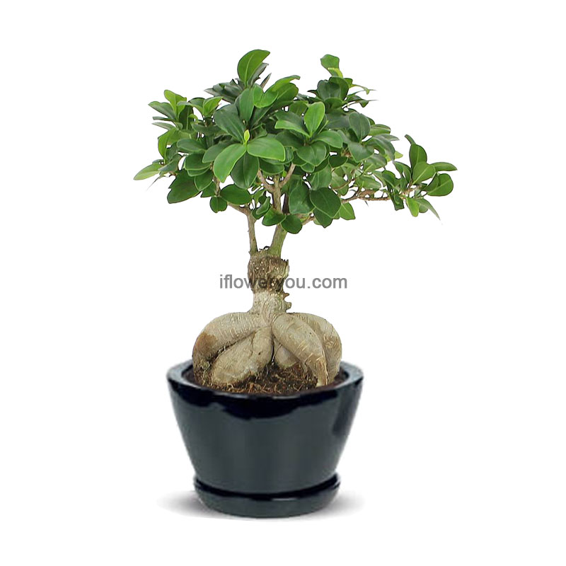 ginseng ficus bonsai small ifloweryou flowers delivery lebanon. Black Bedroom Furniture Sets. Home Design Ideas