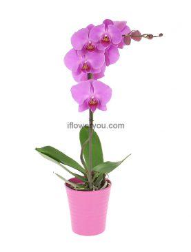 Purple Phalaenopsis Orchid 1-stem