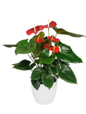 Bright Red Anthurium