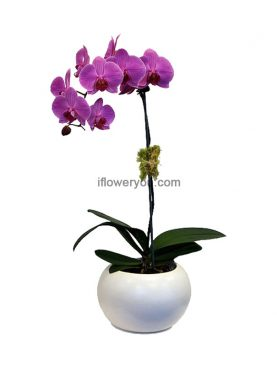 Purple Phalaenopsis Orchid 1-stem