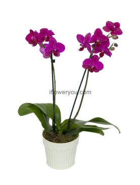 Intense Rose Orchid 2-stems