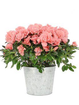 Azalea Pink Large