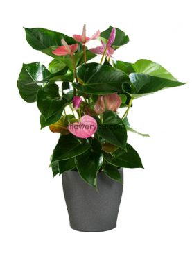 Bright Pink Anthurium