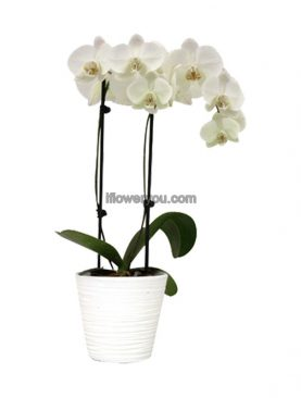 Orchid of Love 2-stems