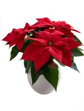 Poinsettia Christmas Wish