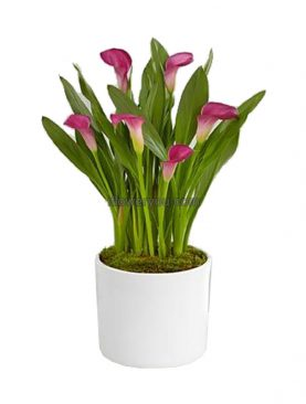 Calla Lily Purple Sensation