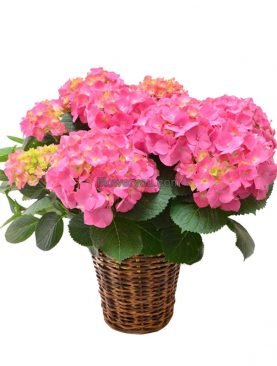 Hydrangea Plants Pink - Mother's Day Lebanon